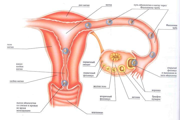 Menstrualnyj-tsikl